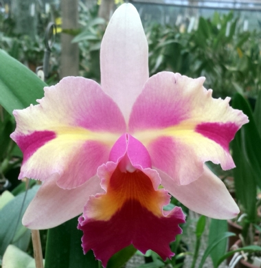 "LC. MARY SONG ""MADAME BUTTERFLY"" X BLC. CHUNYEAH #17 - MERISTEMA - ADULTA"